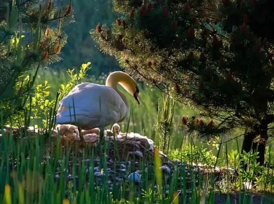 Imagenes de Aves: Cisne con sus crias