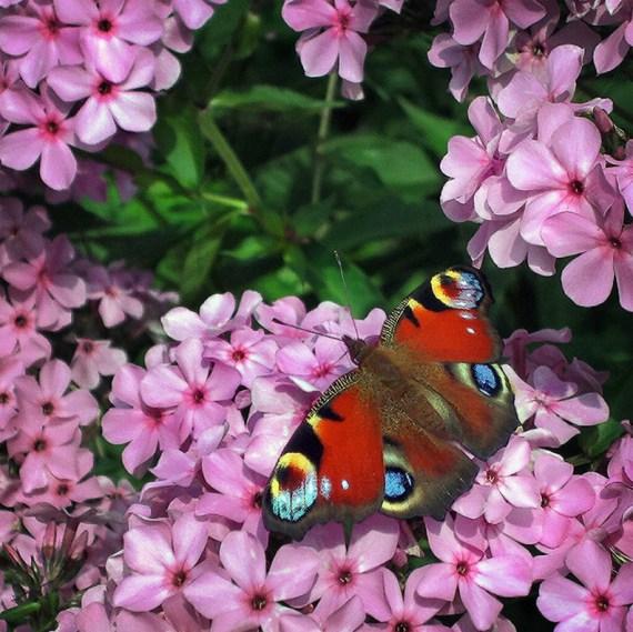 foto de mariposa en flores