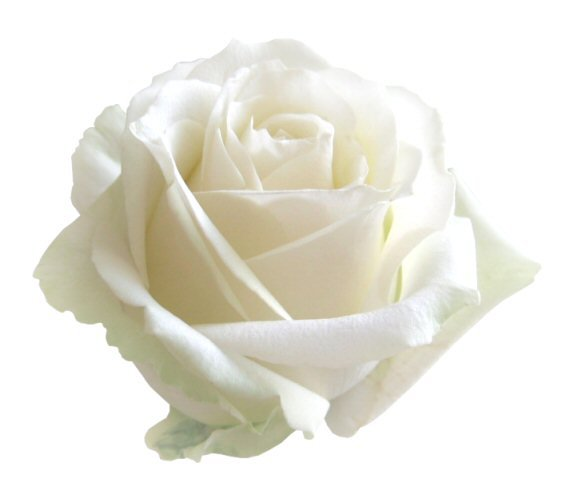 imagen de rosa blanca