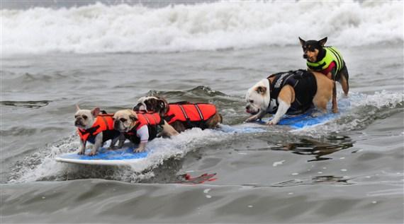 imagen divertida de perros surfistas