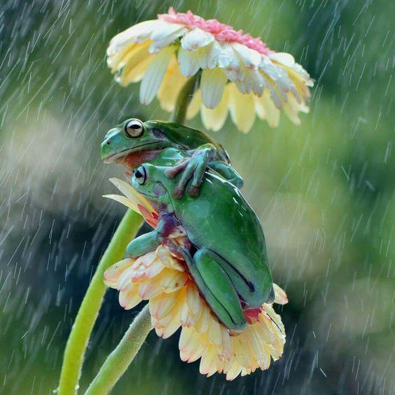 Romantica fotografia de ranas