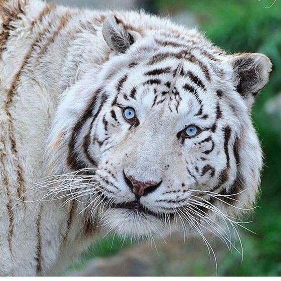 Fotografia de hermoso tigre blanco