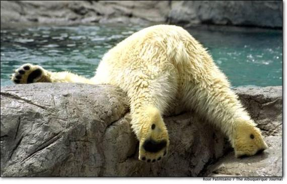Divertida imagen de oso polar