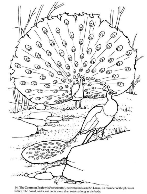 Dibujos para colorear pavo real [24-8-17]