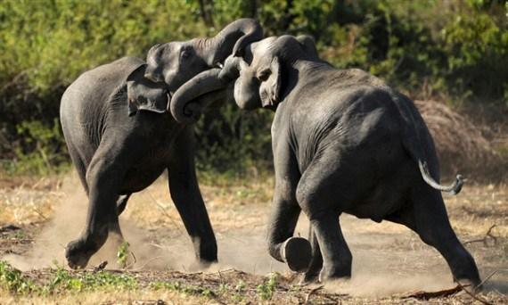 Foto de Elefantes peleando