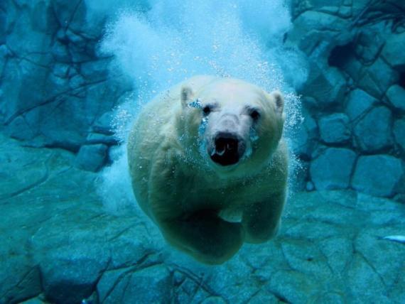 Fotografia de oso polar nadando bajo el agua