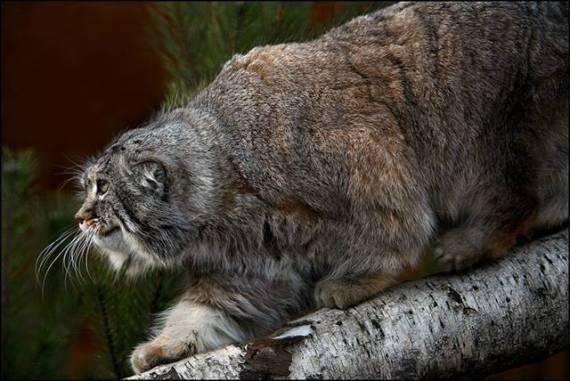 imagenes de gatos monteses