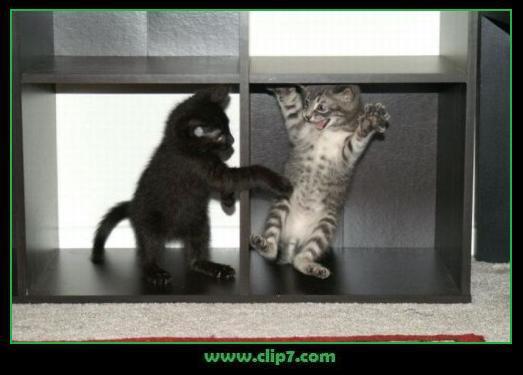 Divertida imagen de gatitos jugando en estantes