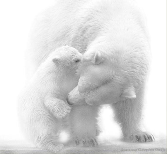 imagen tierna de osos polares bebes