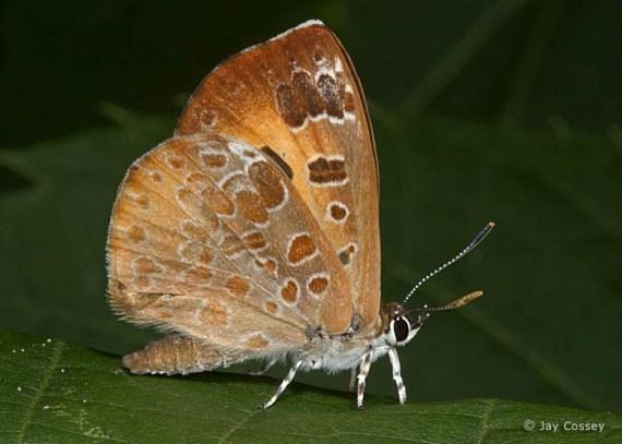 hermosa imagen de mariposa en tonos tabaco: Harvester