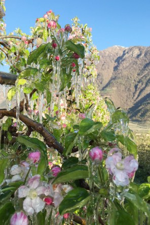 Apple blossoms under ice