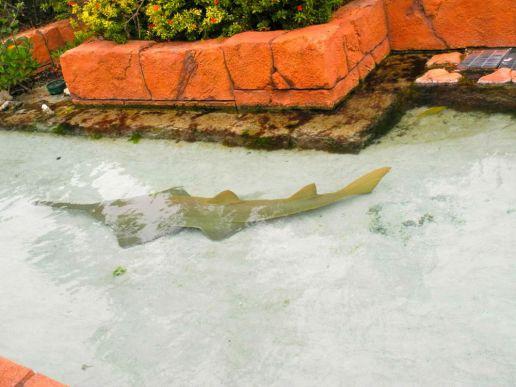 Schwerthai