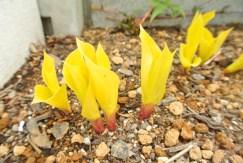 擬宝珠[ギボウシ]FireIslandの燃え立つような黄色の葉も、すくすく伸びてきたよ!今年の秋は、株分けかなぁ。