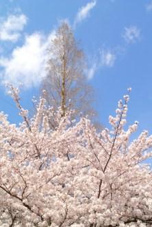 家の裏の桜と、落羽松。