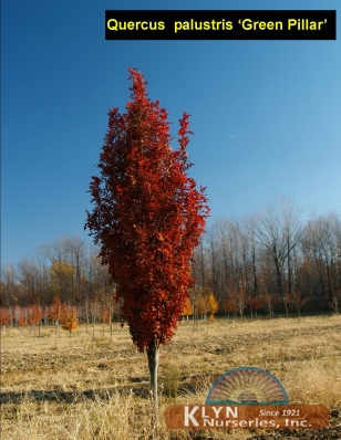 QUERCUS Palustris 'Green Pillar' Klyn Nurseries Inc