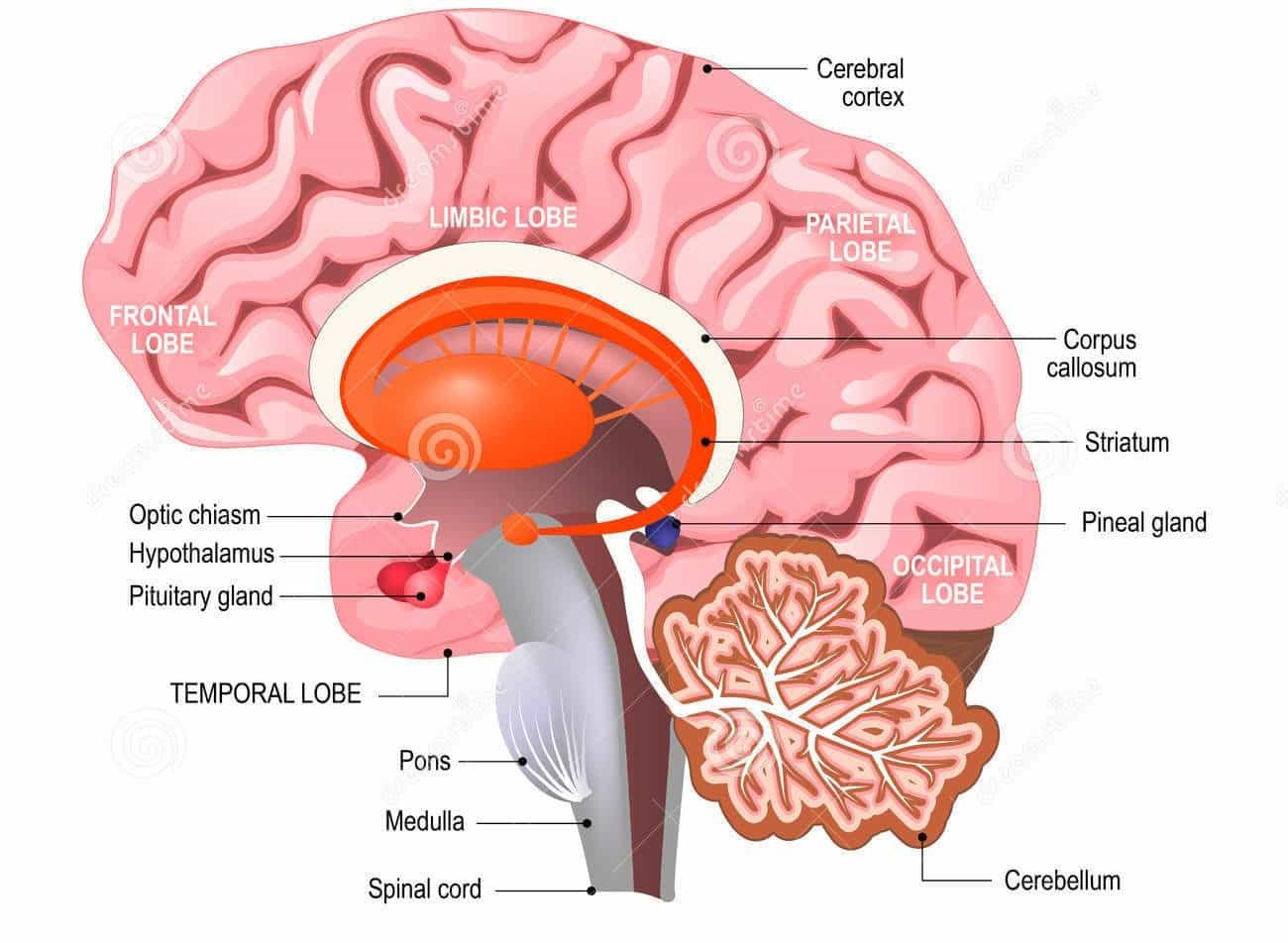 Creative Power of The Brain - the brain