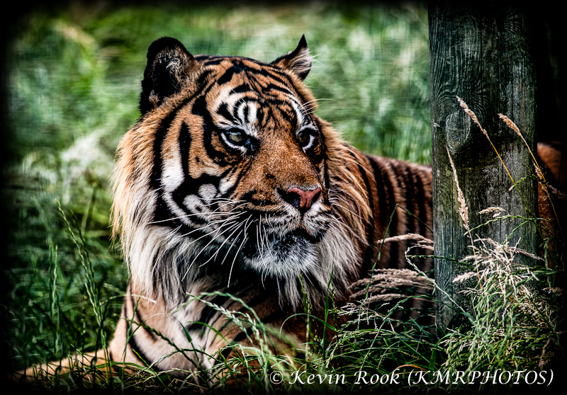 Watchfull Tiger