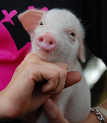 Adorable Baby Pig