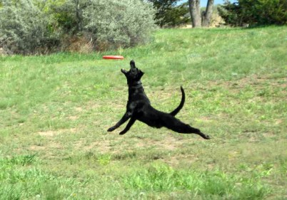 Crazy Bob the Black Lab Leaping for Frisbee