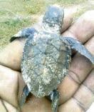 schildpadje