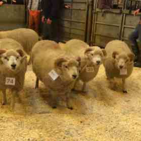 Fine Shetland rams at the Flock Book Sale, 2015