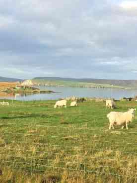 Sheep in Bressay