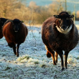 Torwen Sheep (c) Local Food Initiative
