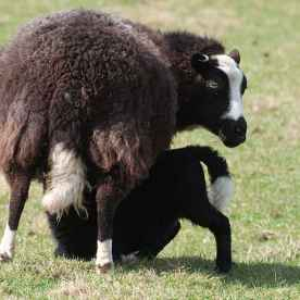 Mick Lobb/Balwen Black Mountain ewe and lamb - Frampton