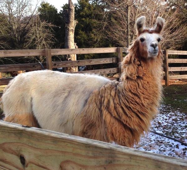 Look! A Llama!!