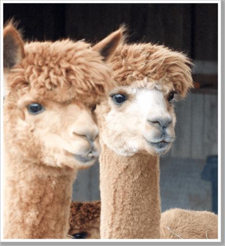 Alpaca Days 1