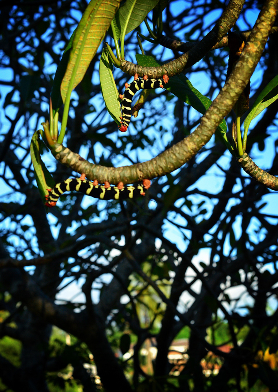 Frangipani Caterpillars photographed by Fergus Ford