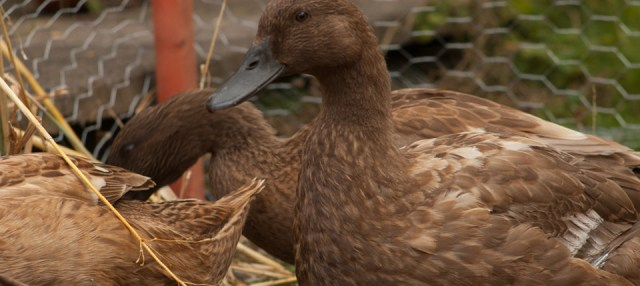 DUCKS! Say hello to Honey, Bonbon & Pretzel; the new family additions chez KNITSONIK