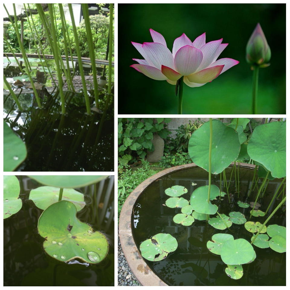 The Lotus plant at the Japanese Folk Museum