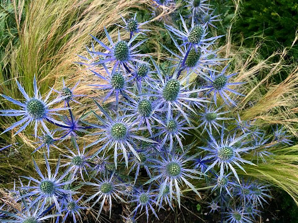 Jackie's photo of the  Eryngium Zabelii flowers - the inspiration for Bev's swatch