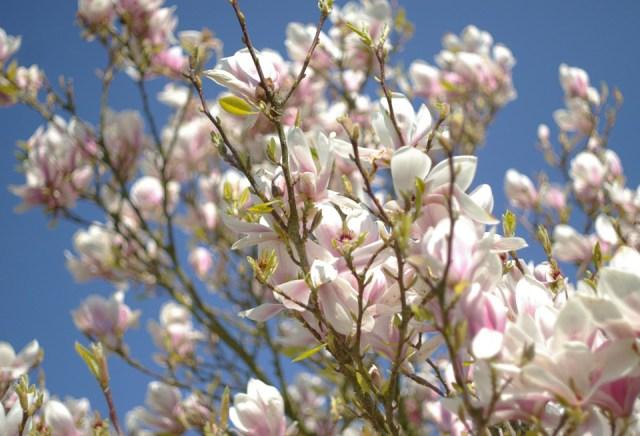 Magnolias_01