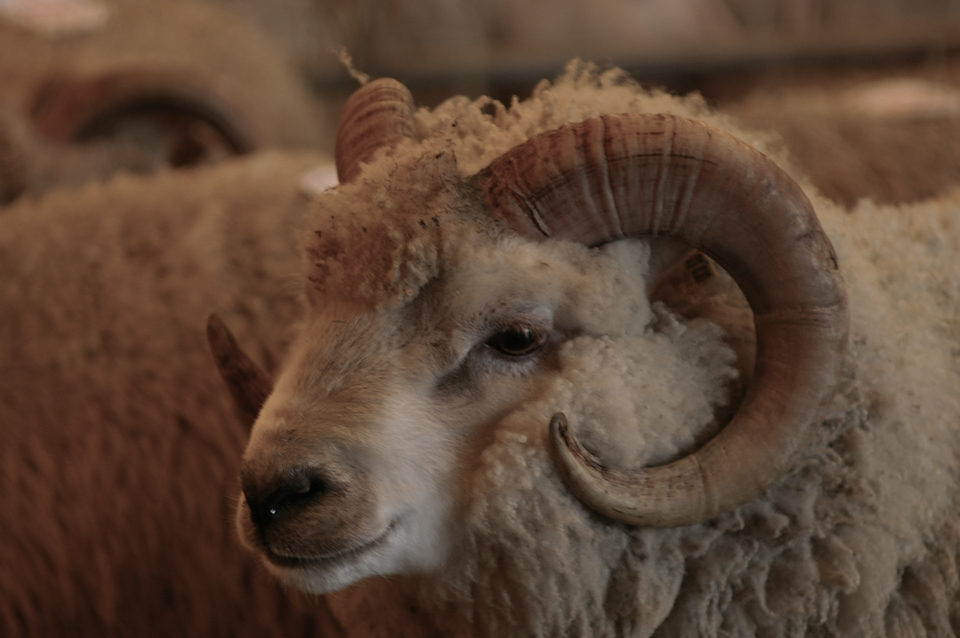 Shetland Ram - I think this is quite a young one?