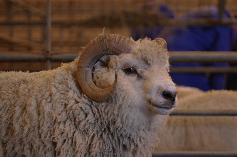 A Handsome little Shetland Ram at The Flock Book