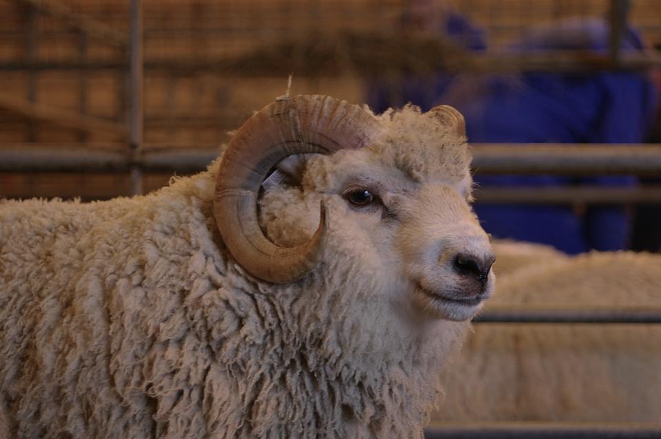 A Handsome little Shetland Ram at The Flock Book