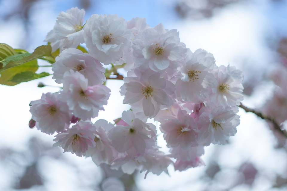lavish blousy double-flowered delicate pale pink cherry blossoms of joy