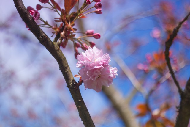 a bright pink, double-flowered cherry blossom with tight pink buds in behind