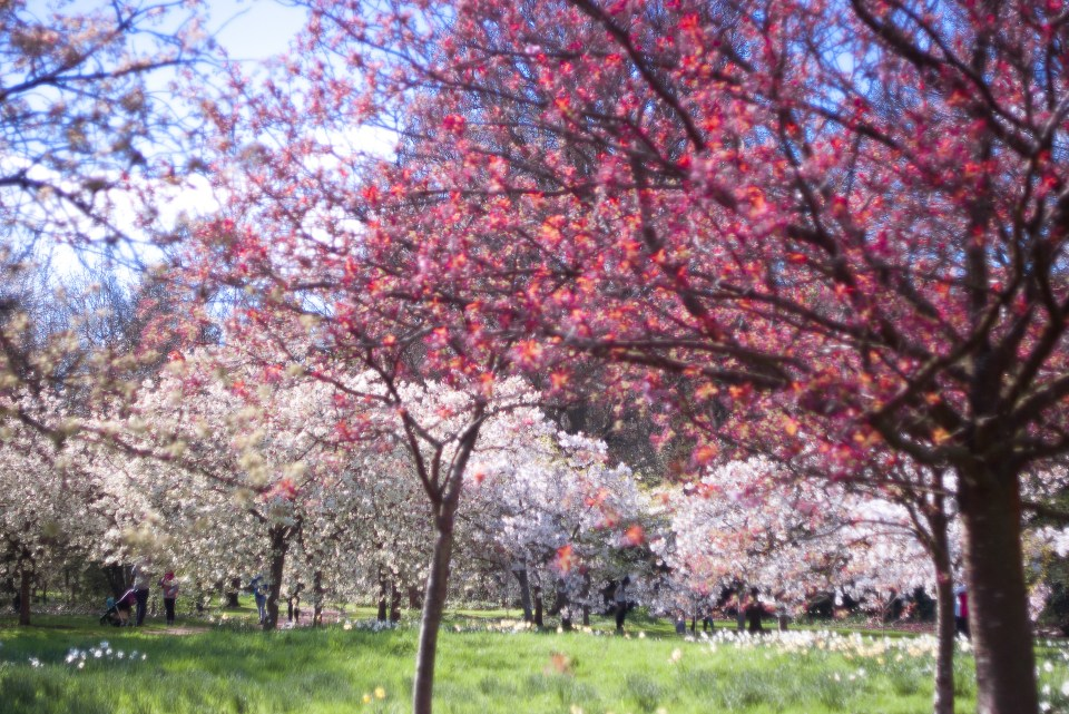 a circle of blossoming cherry trees in the Harris Gardens in Reading; many shades of pin are represented