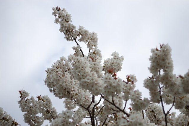 YASS beautiful, upward-reaching branches of cherry blossom, big white ones
