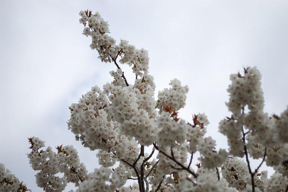 YASS beautiful, upward-reaching branches of cherry blossom, big white ones