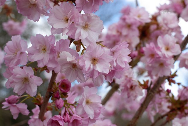 shameless pink blousy blooms of delight - cherry blossoms of course