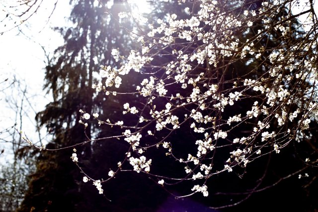 sunlight pouring beautifully through white cherry blossom blooms