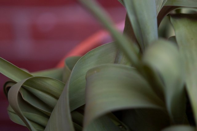 Closeup of tulip leaves and tiny slim tulip stems.