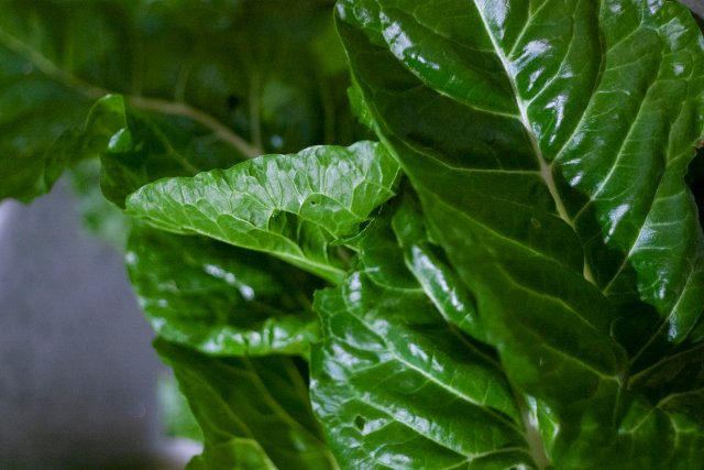 deep green chard leaves