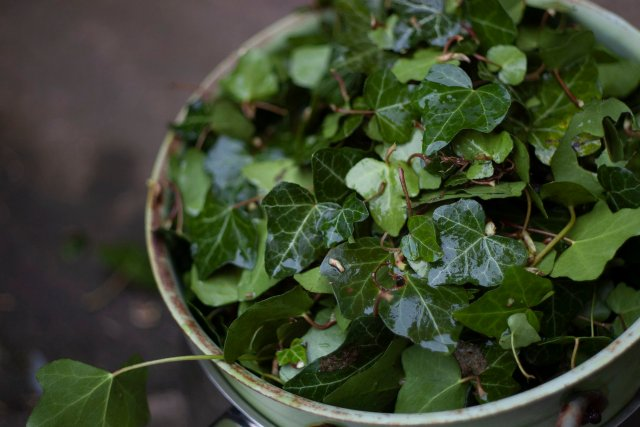a colander of ivy leaves soaked and washed and ready to steep and boil for making laundry soap