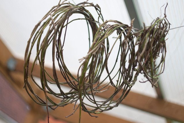 hoops of ivy stems strung up to dry from a roof beam
