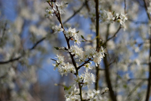 more extravagant Damson blossoms